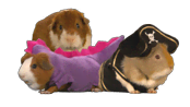 guinea-pigs.png?height=98